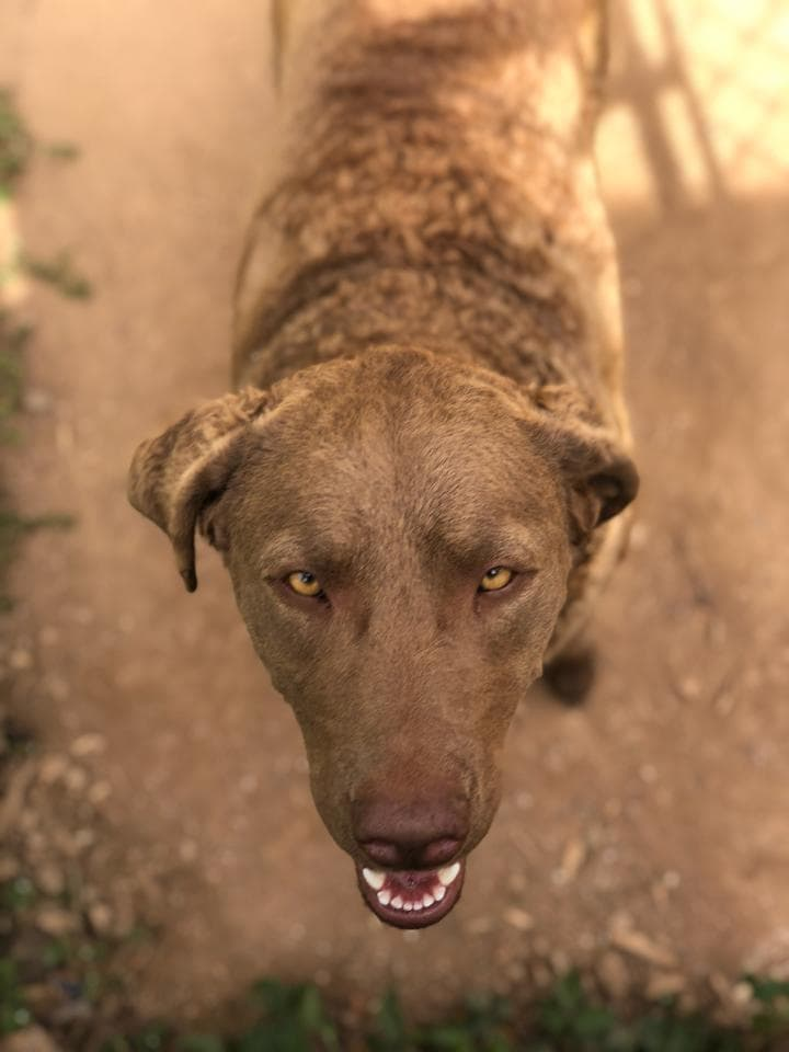 Hi My Name is Callie, I am a Chesapeake Bay Retriever, I just turned 3 years old and I am still looking for my forever home!  Please call soon, because I have been looking for you!!!