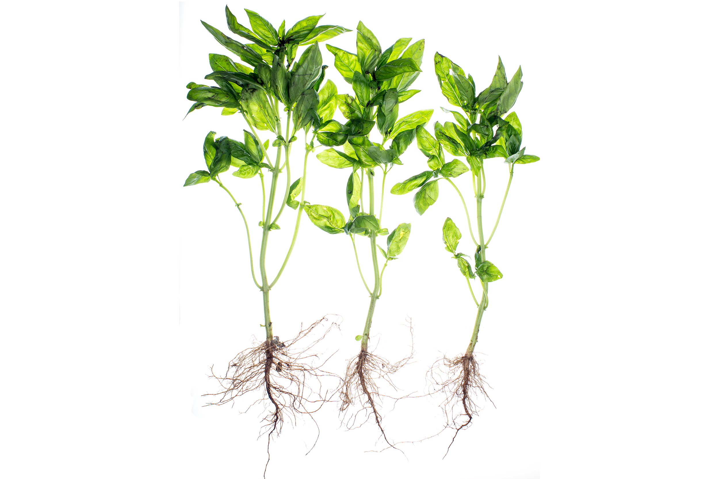 Translucent Basil with Roots