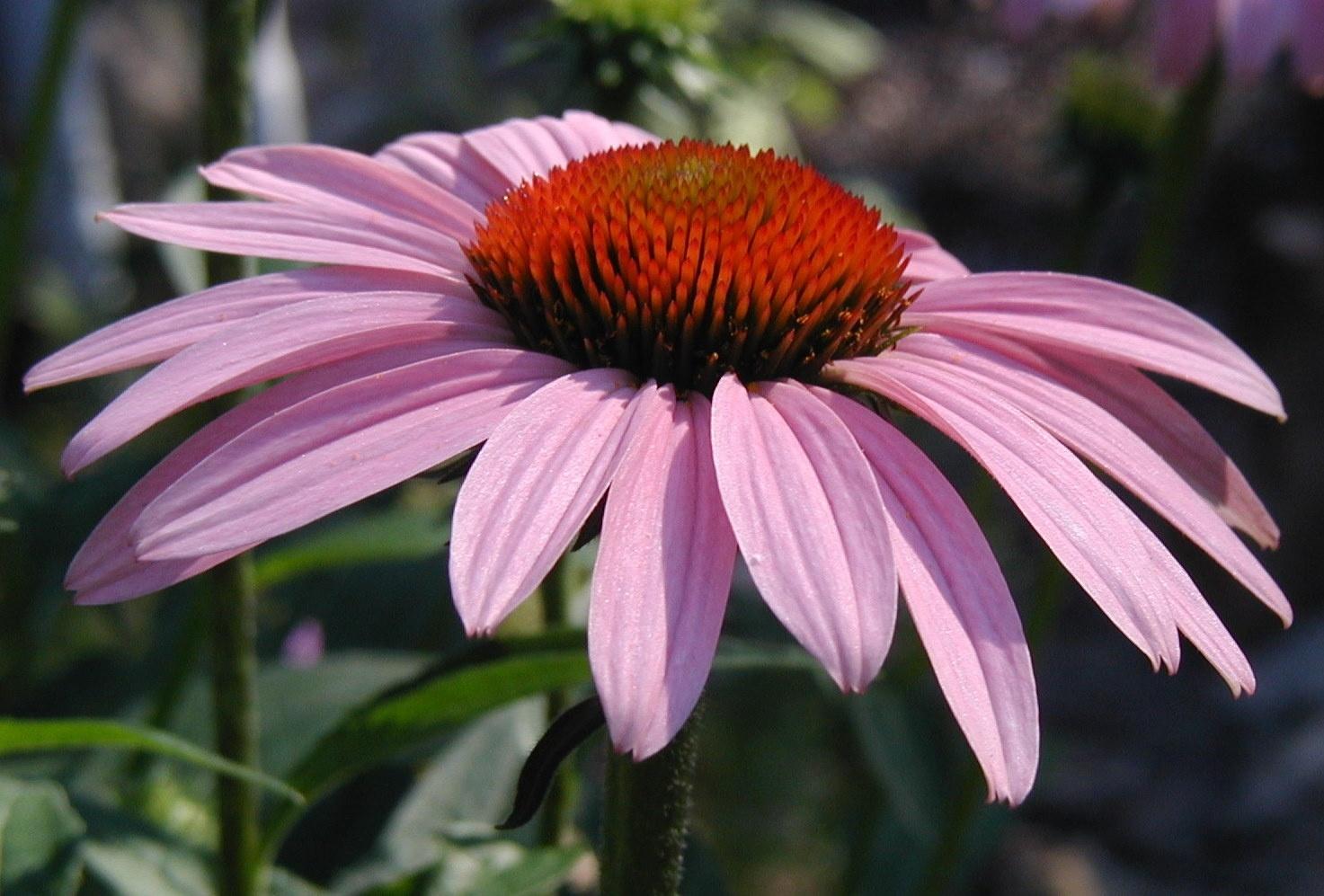 echinacea-flower-pink.jpg