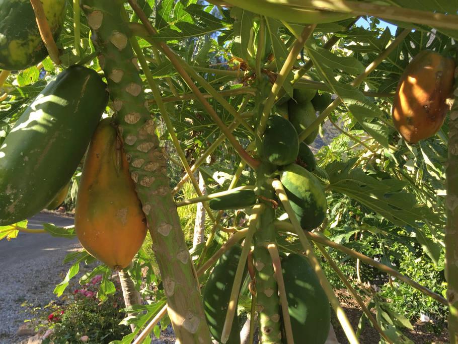 ojai papayas.jpg