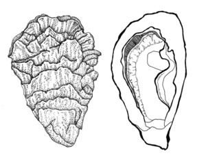 oyster+copy.jpg