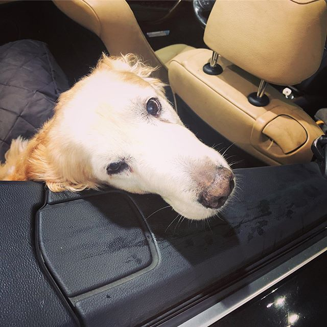 Happy #nationaldogday from Berkeley! .. #goldenretriever  #dogsofinstagram  #dogstagram  #convertible