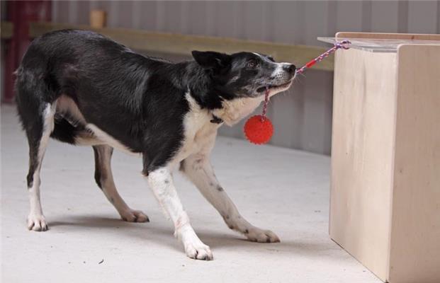 Imágenes de perros realizando pruebas de CI. Crédito: © Dr. Angela Driscoll/Kinloch Sheepdogs