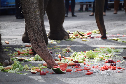Elephants eat watermelon at Boston's Annual North End brunch and playtime for Ringling Bros. and Barnum & Bailey.