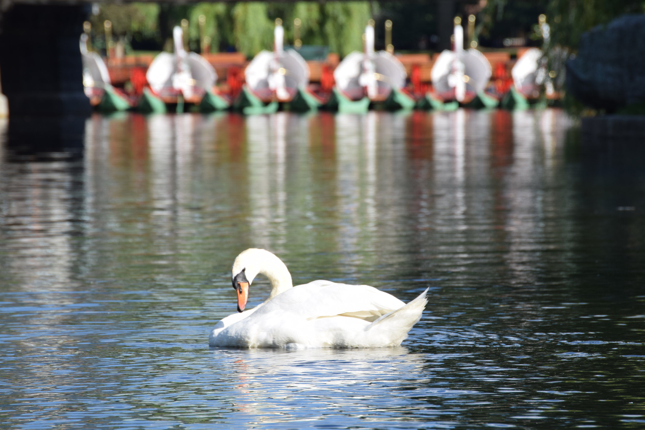 A swan rests in a pond at Boston Common known for its swan boats.