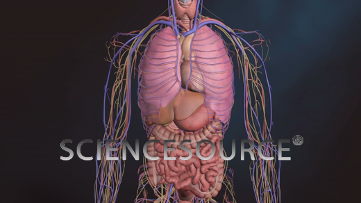 Beating Heart, Nervous System