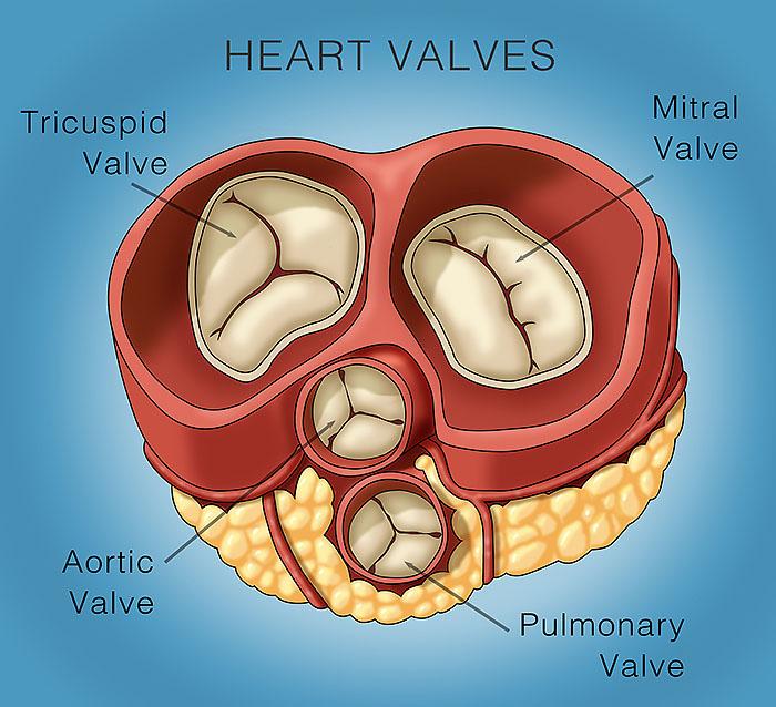 Heart Valve Anatomy