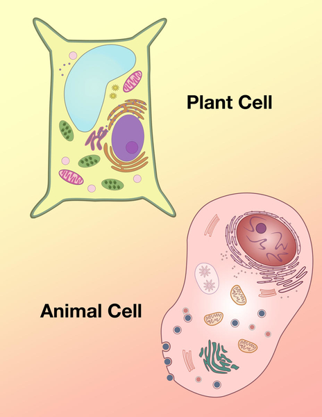 Animal & Plant Cell