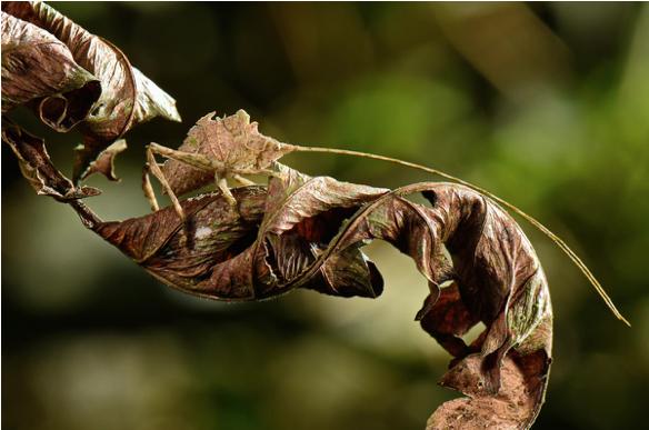 dead-leaf-katydid.png
