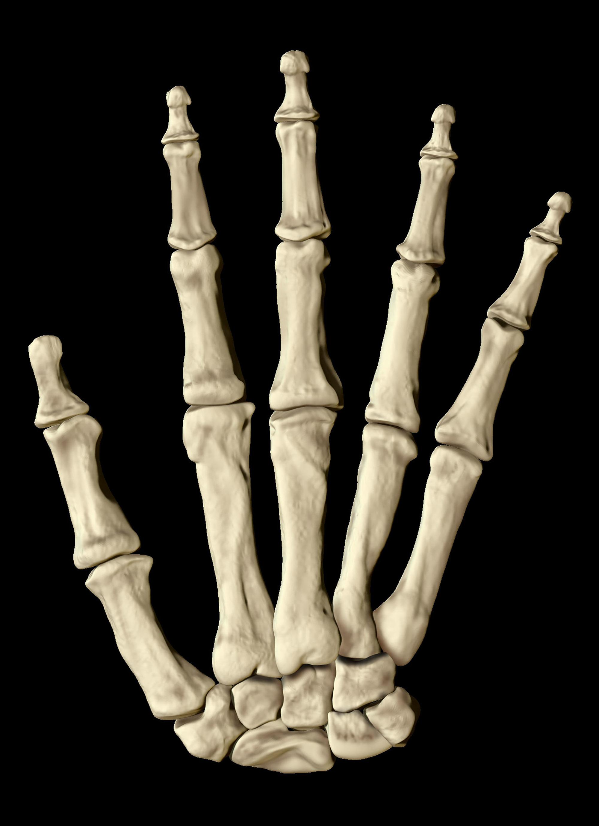 Hand Bones, 3D Model
