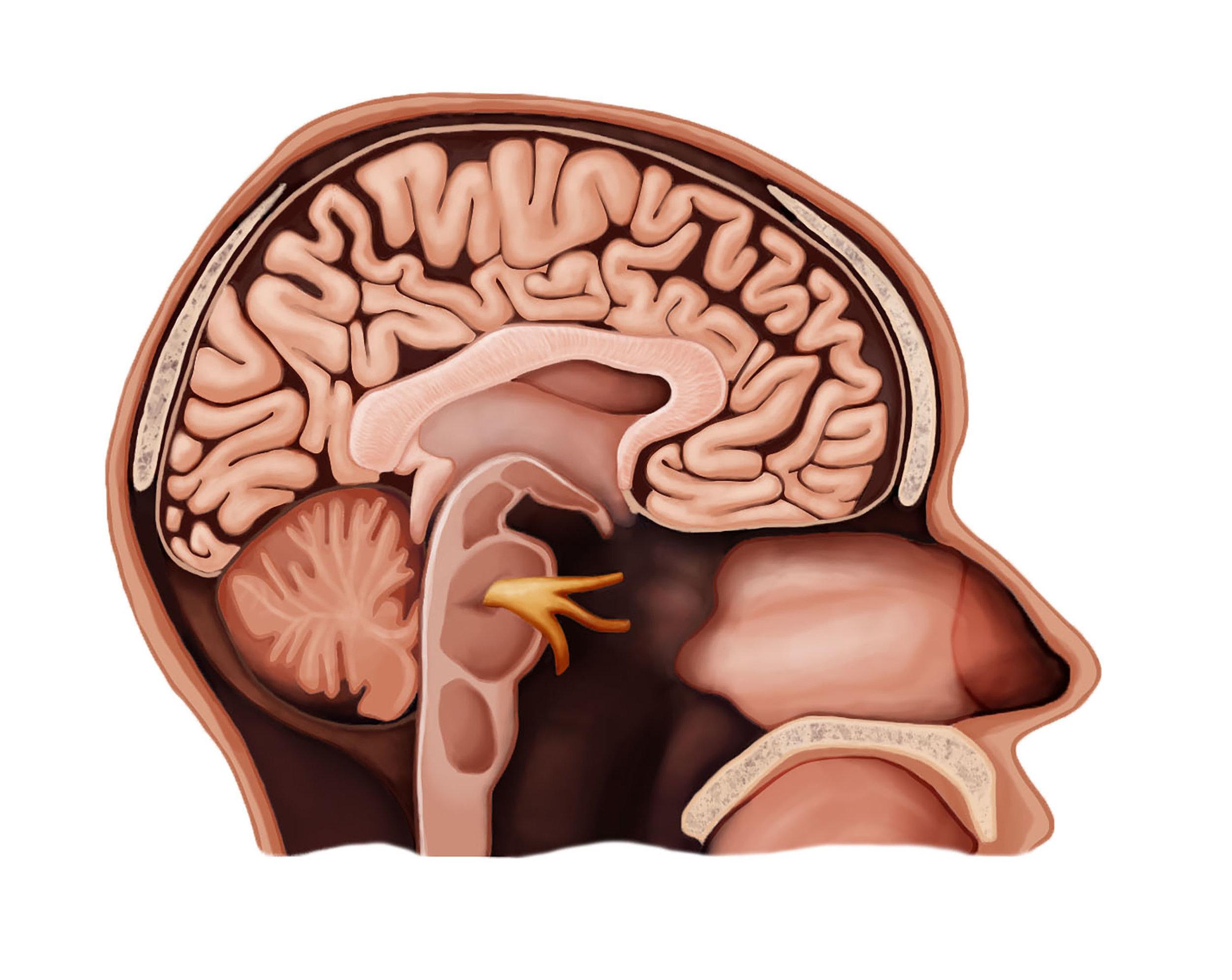 Head, Sagittal Section, Illustration
