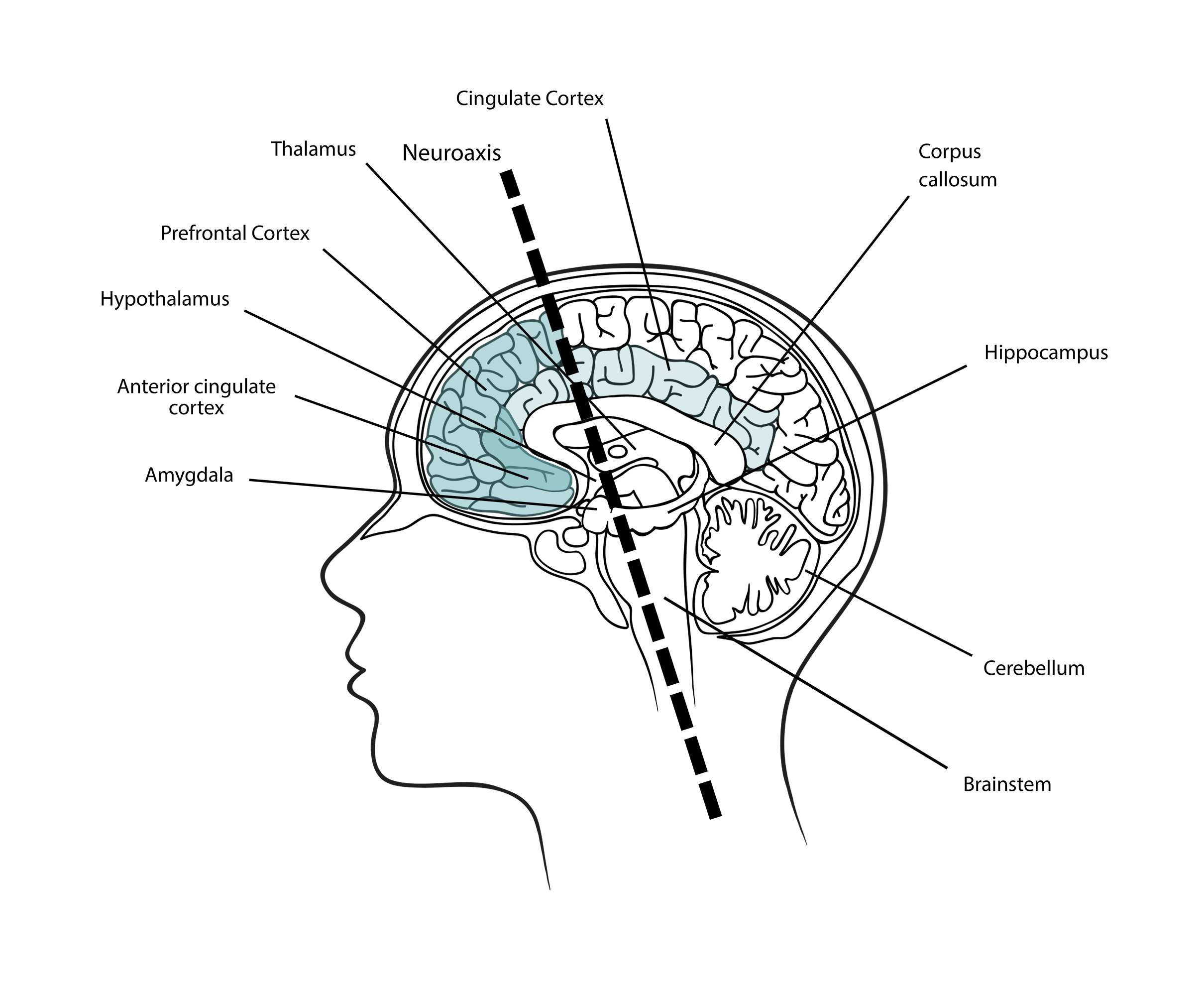 Brain Neuroaxis and Cortices, Illustration
