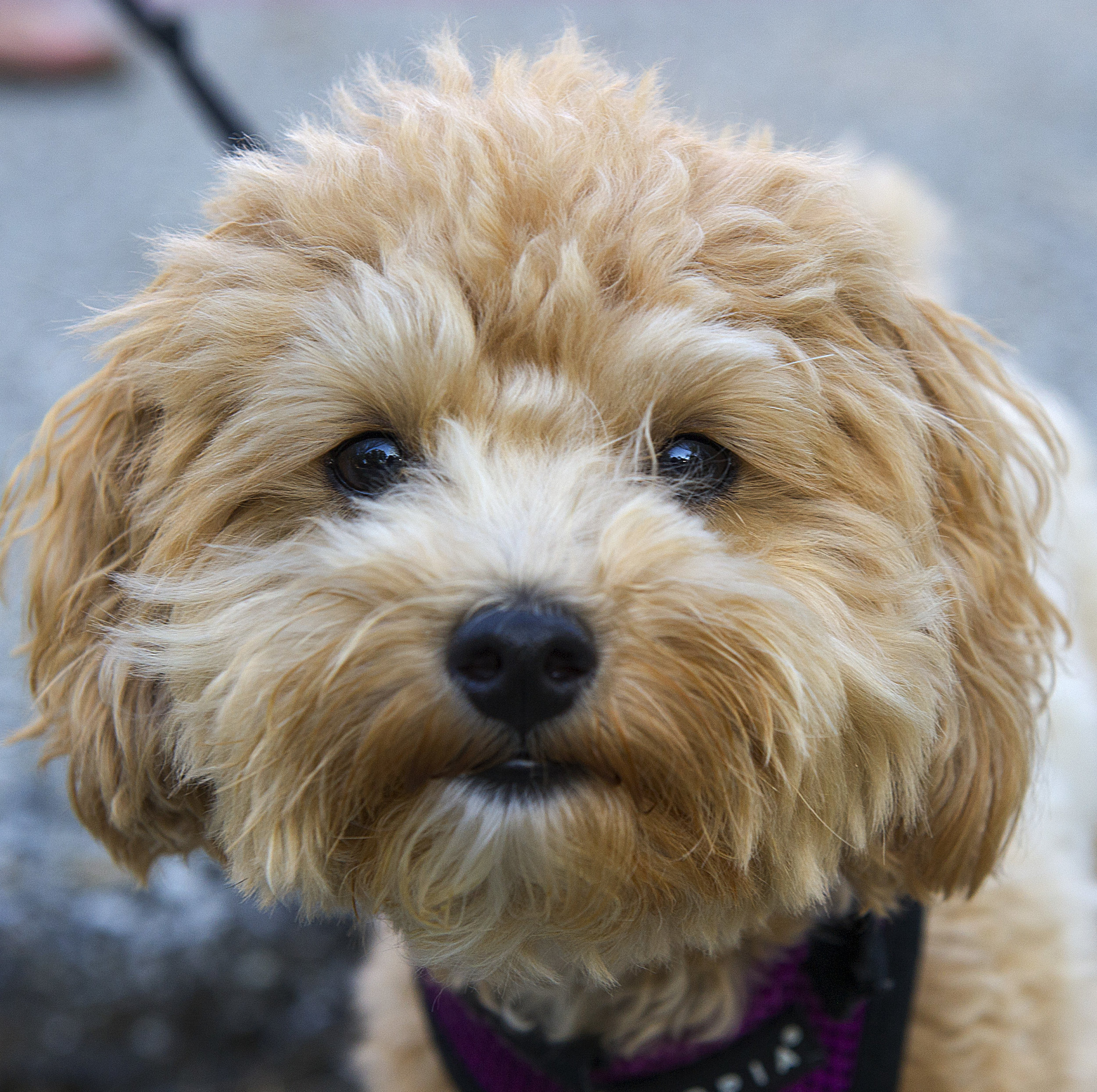 Marlee, 2, Maltipoo, on the Monon Trail in Indianapolis; owners are Jeff and Jessjesszalucki@gmail.com