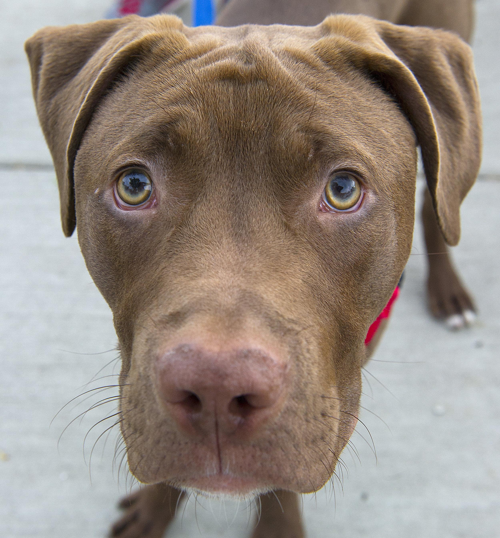 Tripp, 11 months, Chocolate lab terrier mixjhsenne@gmail.com
