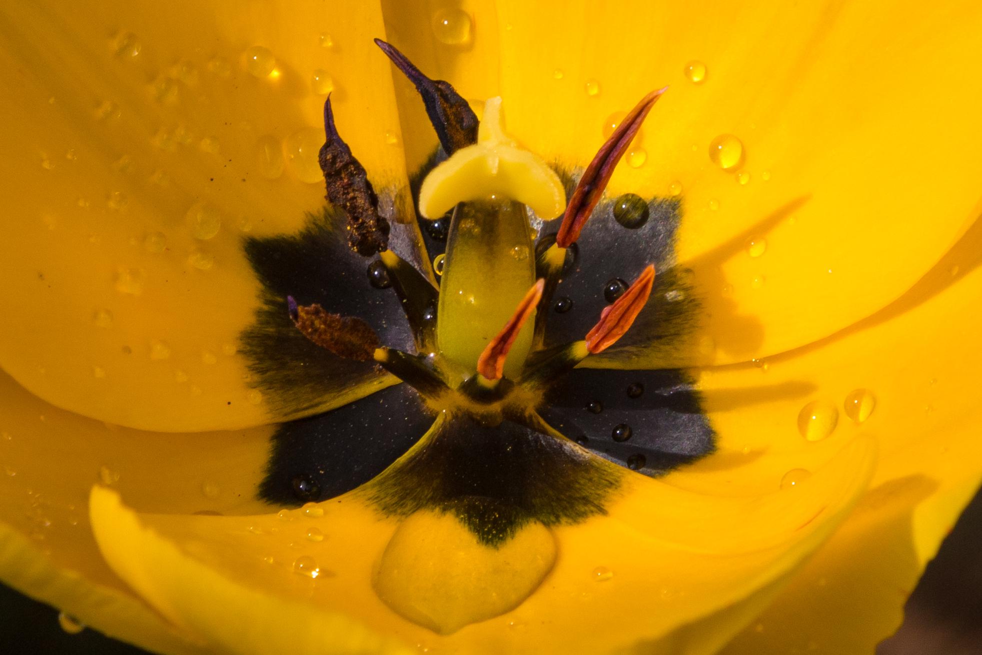 7 - Chris Baker - Sunlit Tulip.jpg
