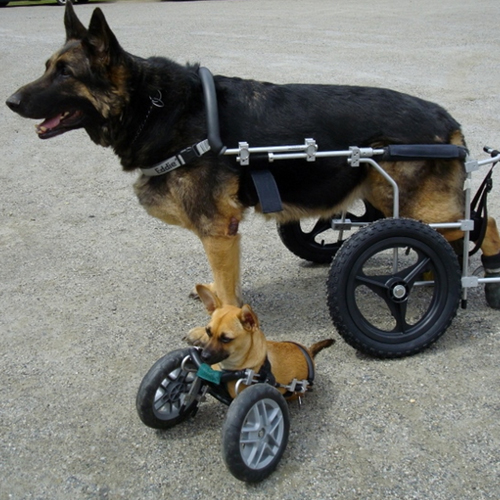 from $350. Custom Cart  Most of the dogs we sponsor need a wheelchair for mobility. They range in price depending on size and needs of the pet. The three sponsorships listed are based on the average price for a small, medium and large wheelchair.