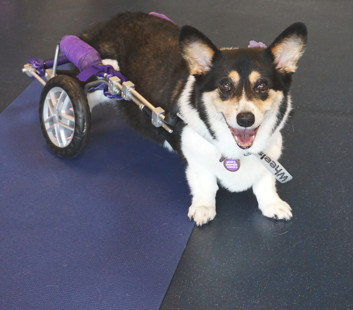 Pembroke Welsh Corgi Tilly diagnosed with Degenerative Myelopathy (DM) is all smiles in her custom cart provided by BWF.