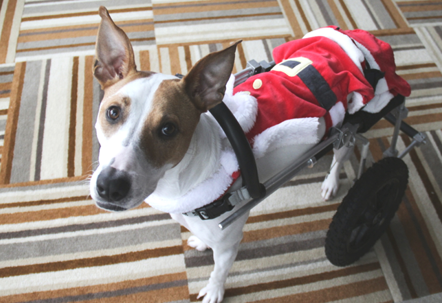 December 2014  Lessons From a Paralyzed Dog   Paralyzed Puppy's Christmas Tale