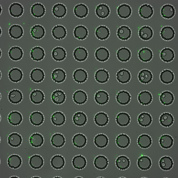 Using encoded beads to link genotype and phenotype for many single cells in parallel   Recent developments in single-cell analysis have enabled the probing of phenotypes, transcriptomes, and genomes for individual cells, revealing previously hidden heterogeneity within cell populations of high significance for human health and disease.  The next great challenge is to understand both the cause and effect of this heterogeneity by linking changes in genetic information with their functional effects.  We are developing a new technologies that uses oligonucleotide arrays coupled to encoding beads to link different types of measurements for the same cell.