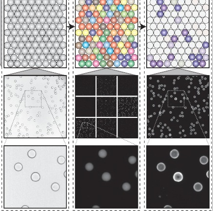 An open-source software analysis package for Microspheres with Ratiometric Barcode Lanthanide Encoding (MRBLEs)    Harink, B., Nguyen, H., Thorn, K.,  Fordyce, P. M.   PLOS/ONE    (PDF)   (Web)