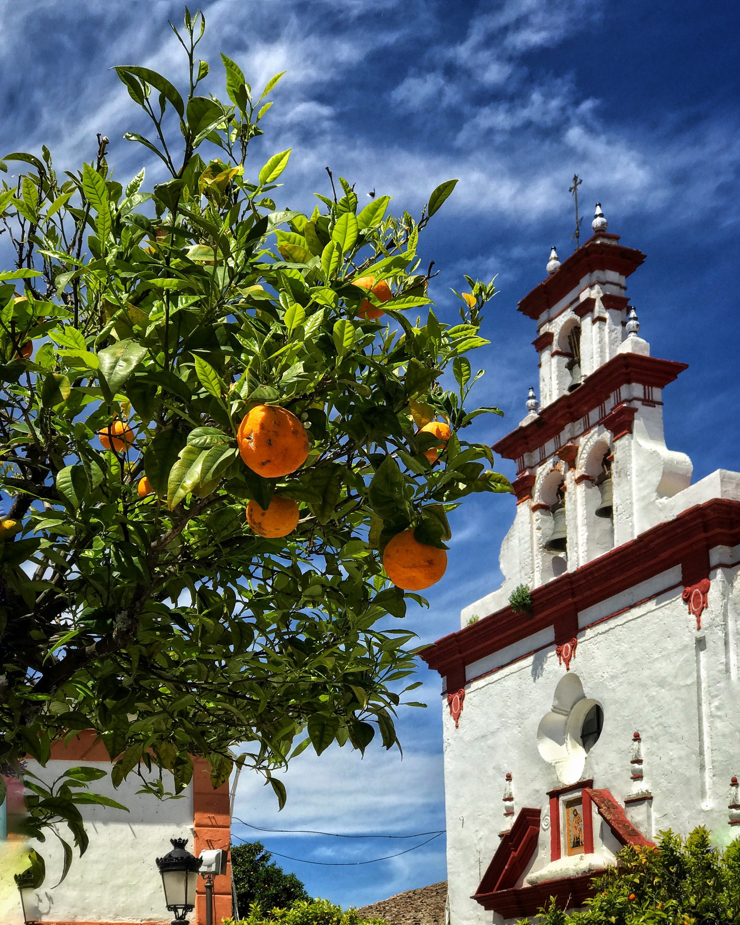 An orange tree in Andalucia, Spain
