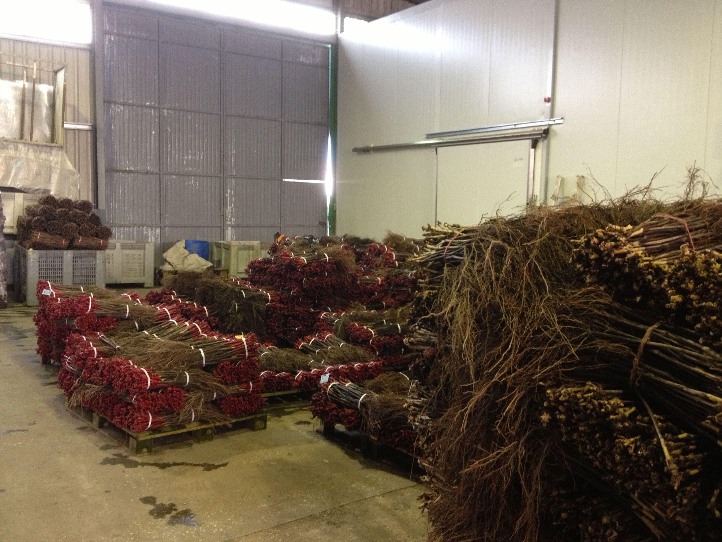 Espagne, Aielo de Malferit, stockage des plants greffés après arrachage, décembre 2013.jpg
