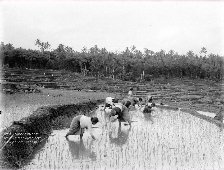 Para perempuan sedang menanam padi. Salatiga. 1901.