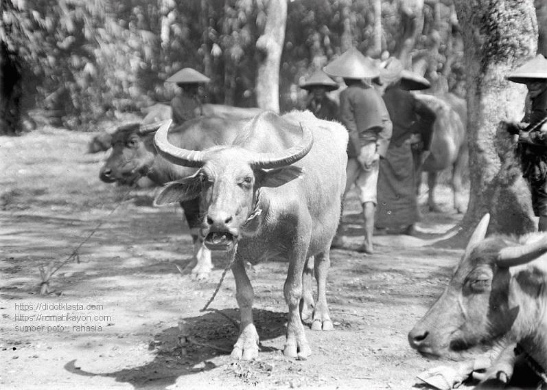 Suasana di pasar hewan Salatiga. 1918. Apakah tempatnya adalah Pasar Sapi sekarang?