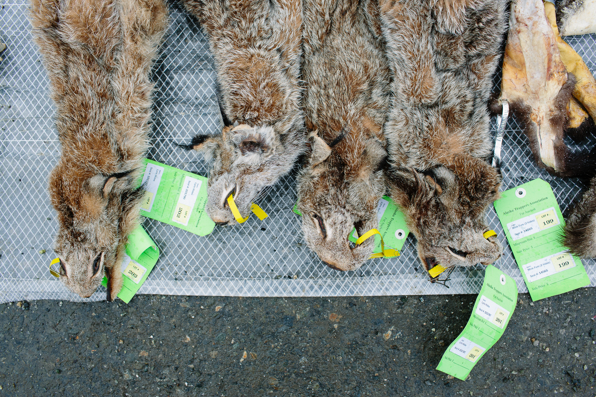 Lynx pelts displayed before the auction.