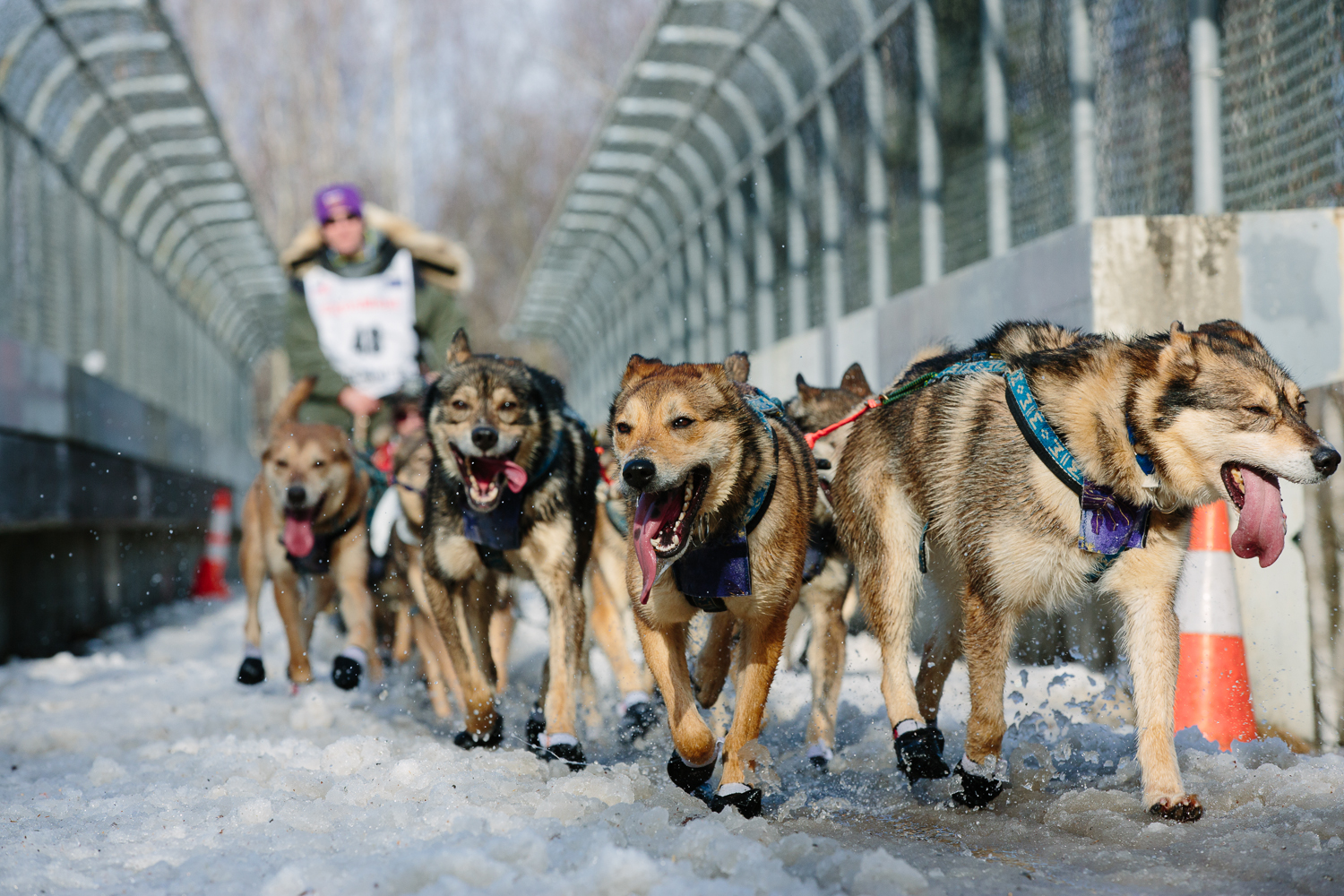 The dog team of Byron Bearss ran through warm, slushy conditions at the start of the 2015 Iditarod in Anchorage, Alaska. March 7, 2015