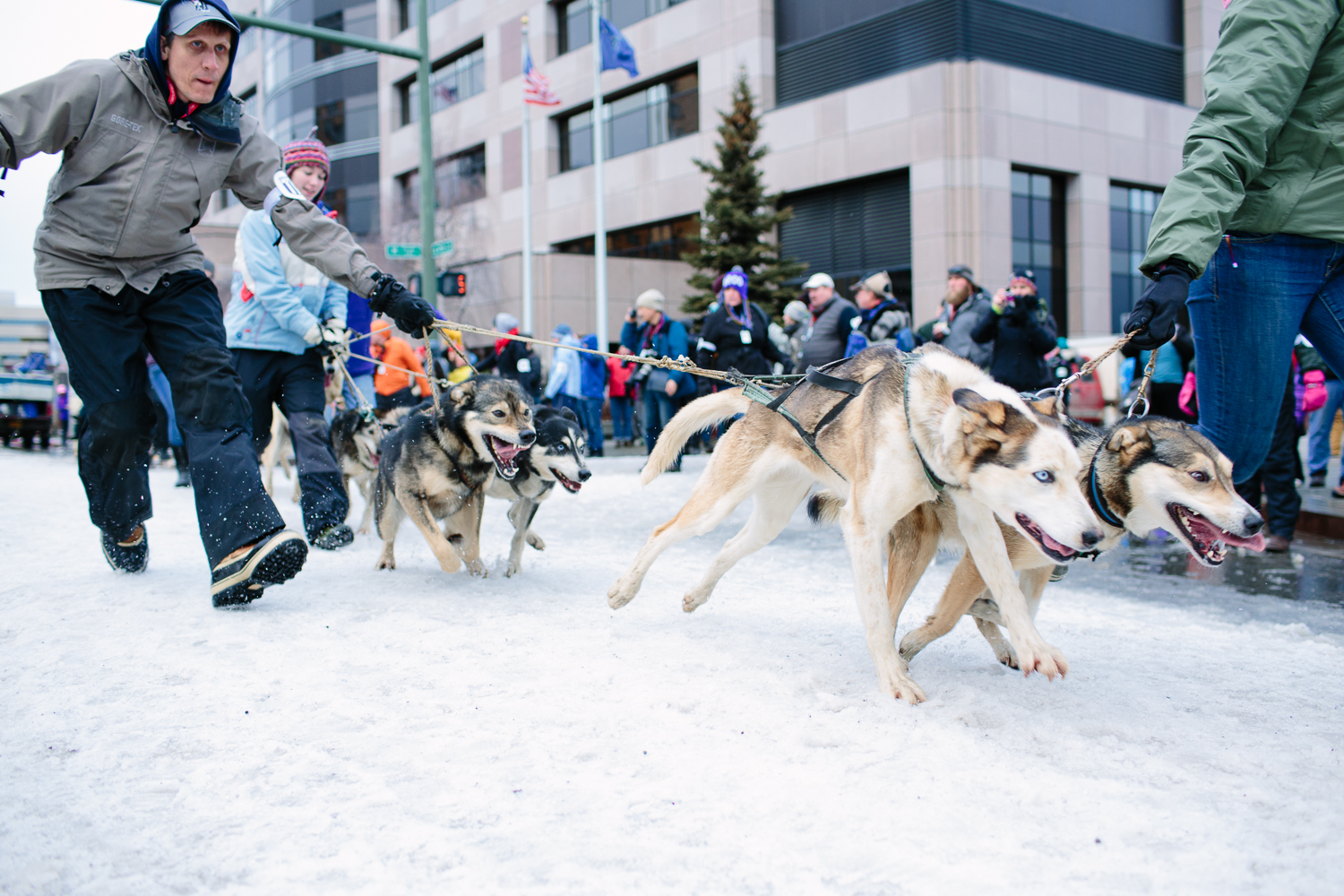 Dogs are led to the start of the Iditarod Ceremonial Start by mushers' assistants and dog handlers in Anchorage, Alaska on February 7, 2015.