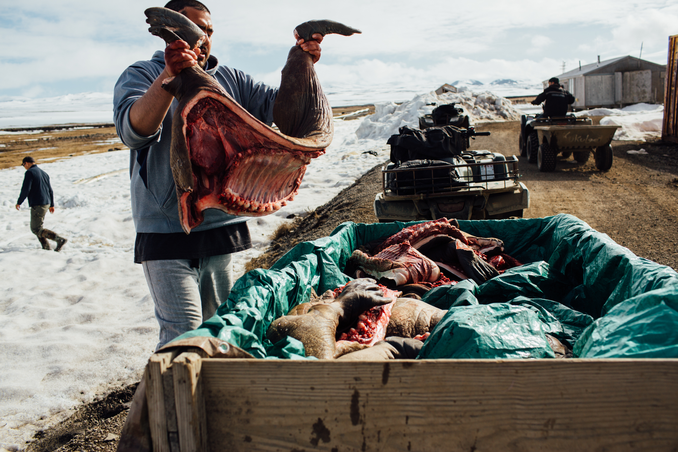 After butchering juvenile walrus, hunters load the meat into an ATV trailer to hang from drying racks outside their homes. Savoonga, St. Lawrence Island, Alaska.