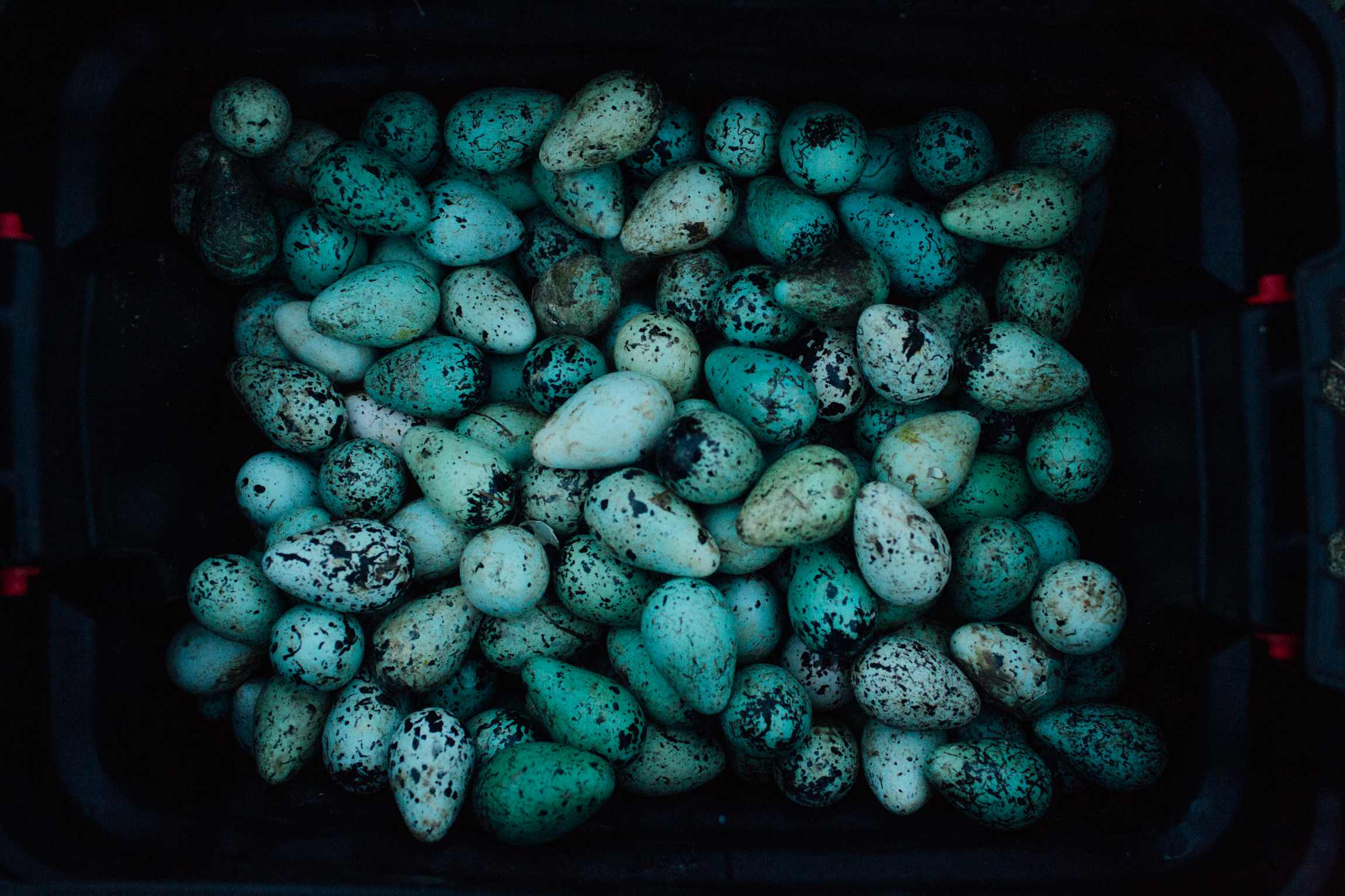 Common Murr eggs collected from cliff sides on St. Lawrence island. Murr eggs provide subsistence food for families in the villages of Savoonga and Gambell on the island.