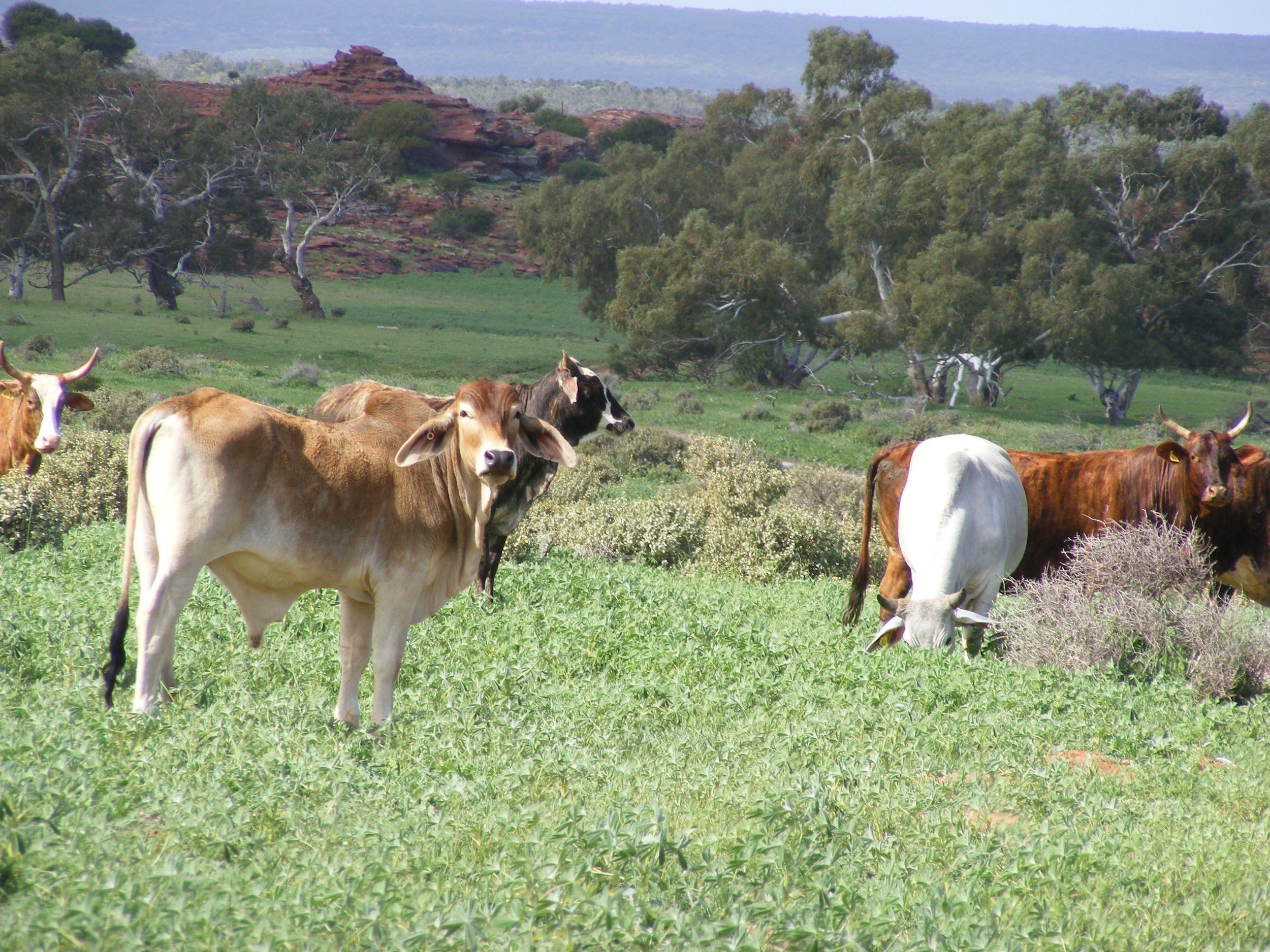 Cattle grazing on Murchison House Station