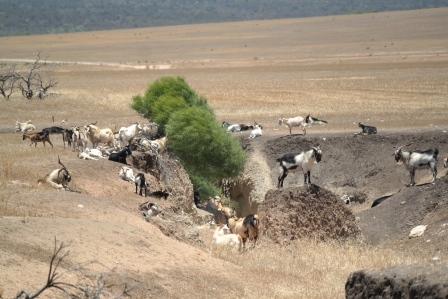 Rangeland goats at Murchison House Station.
