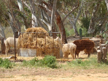 Al Paca family at Murchison House Station