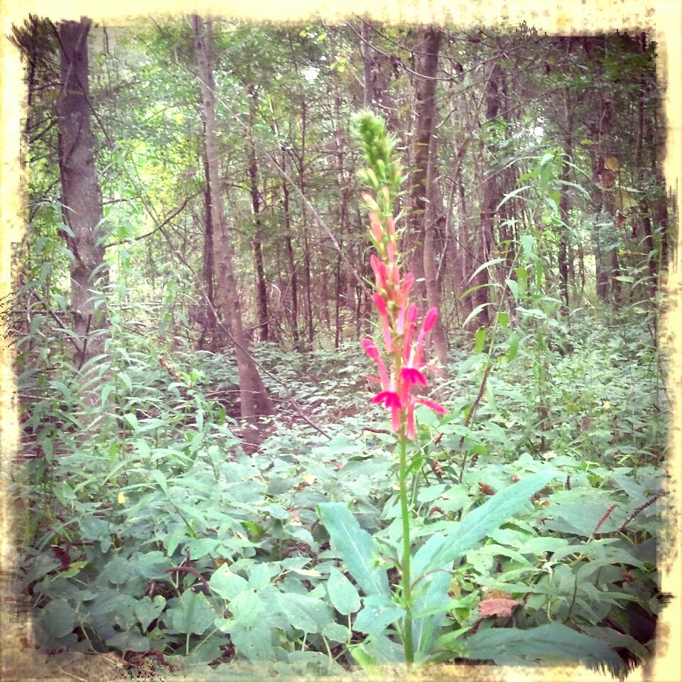 cardinal flower in the lizard's tail