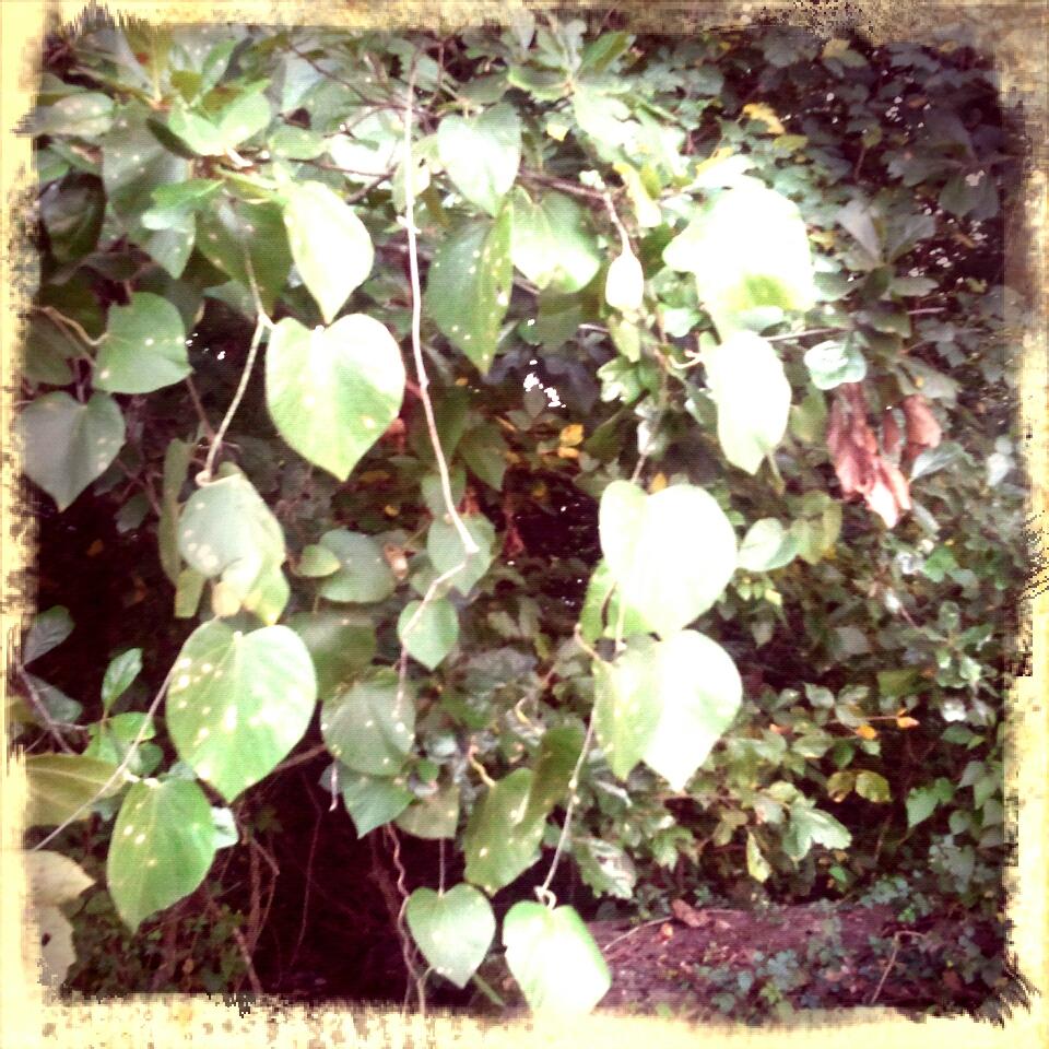 Wooly Pipe vine growing along the Yalobusha River
