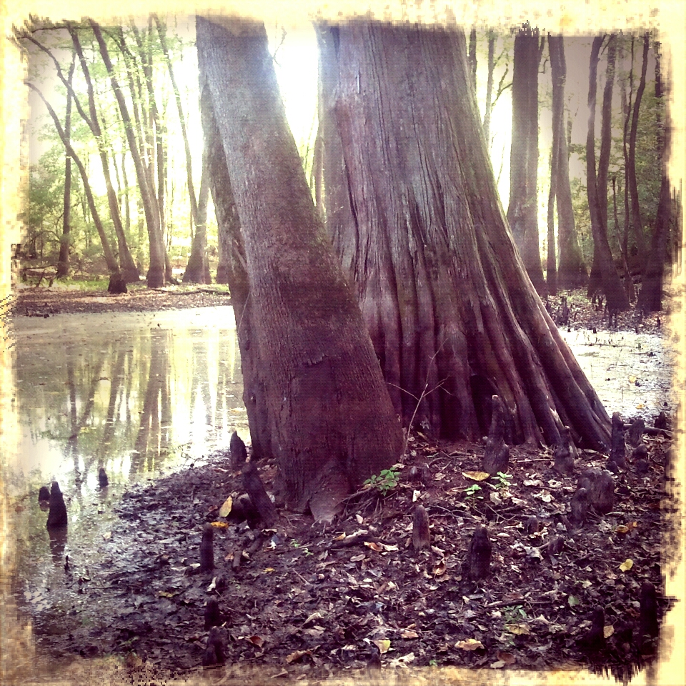 cypress swale near the Yalobusha River in MWMA