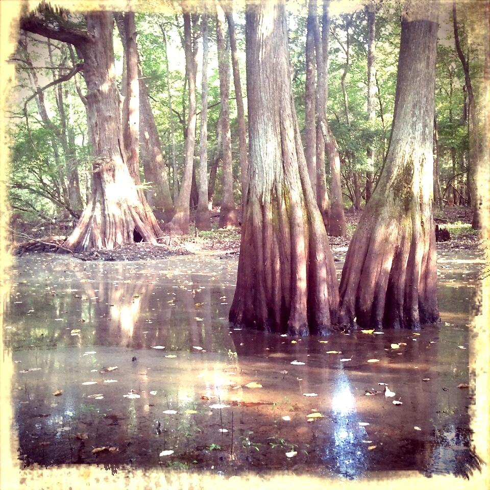 sprawling cypress. hidden forest watering hole.