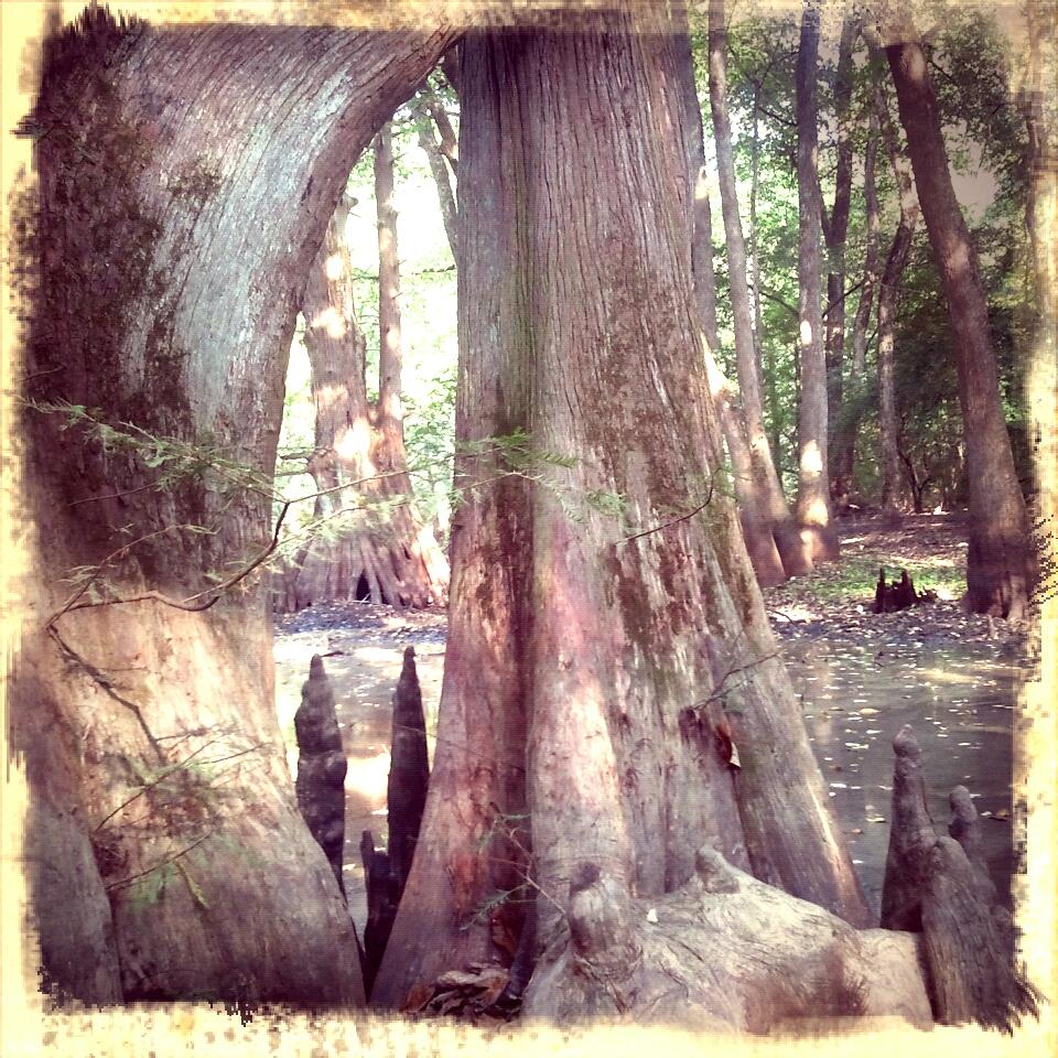 beautiful cypress full of character.
