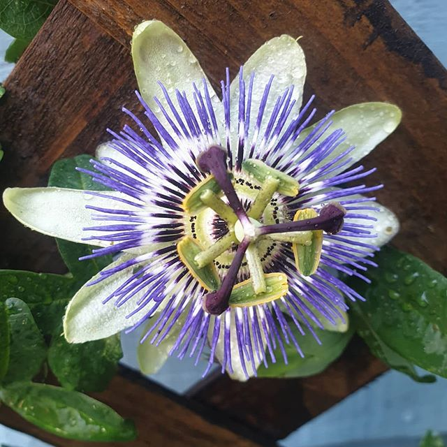 On another note, my first Passion flower opened today. Still makes my brain happy looking at the detail in it.