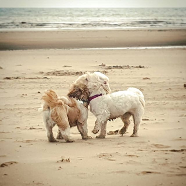 *Love is in the air* Audrey had a romantic date with @tiredmummyoftwo's Zeus on the beach yesterday and it was beautiful... until giant Leonard (the dog) got jealous and grumpy; it's never nice being the third wheel! . . . . #AudreyTheZuchon #LeonardTheDog #puppyspam #zuchon #shichon #puppy #bichonfrise #shihzu #toybreeds #babygirl #instadog #instapet #cute #love #gshpointer #weimaraner #crossbreed #teddybeardog #uk