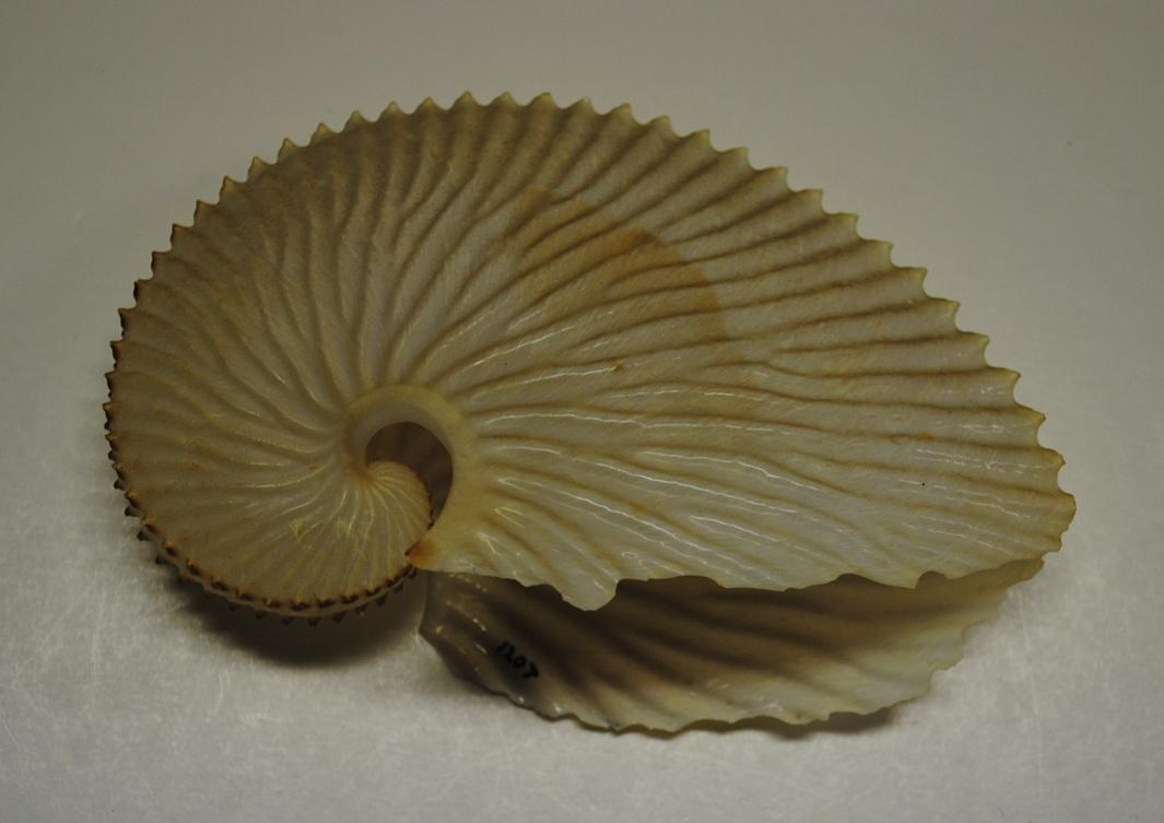 Paper Nautilus (Pacific Argonaut)