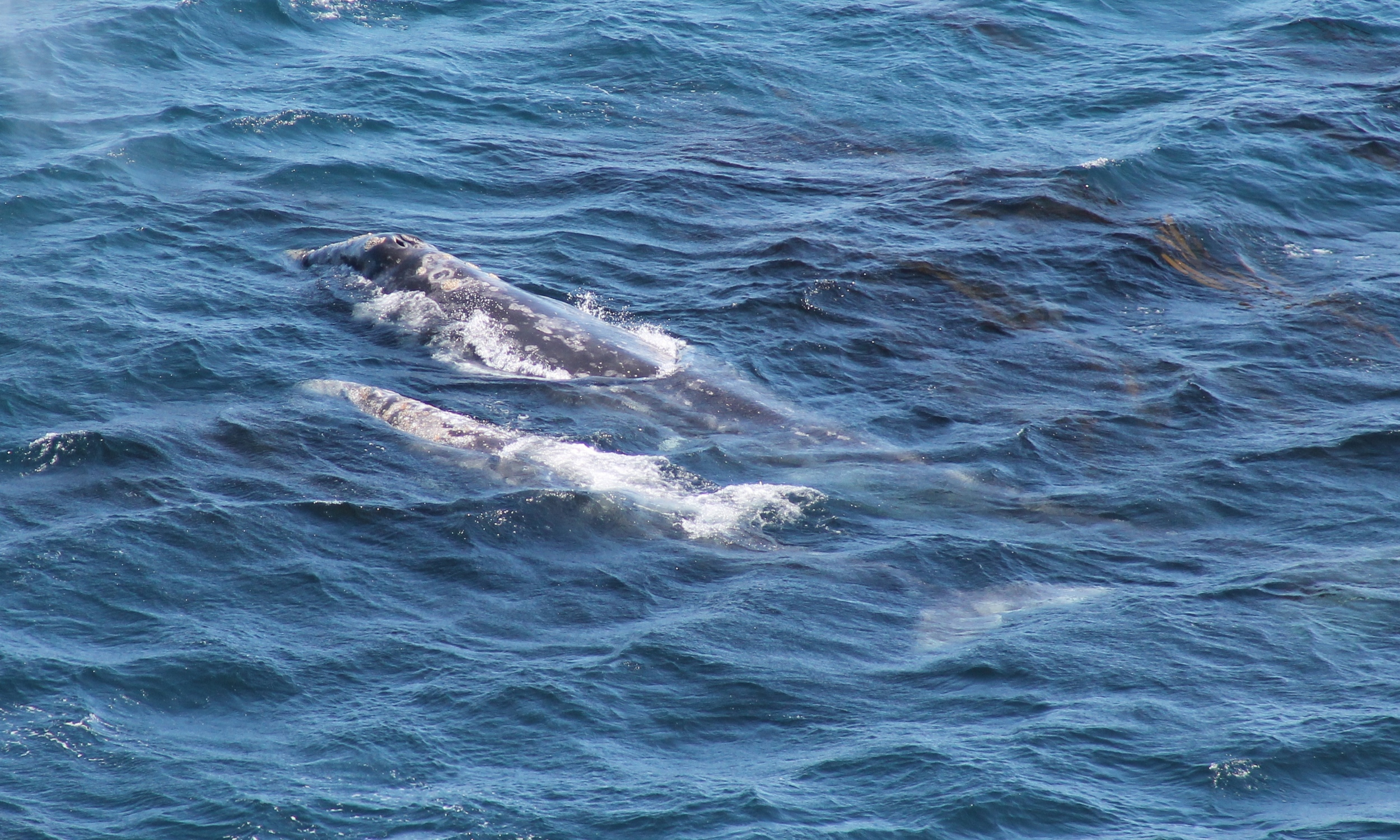 Gray whale and calf spotted from Point Sur Lighthouse.