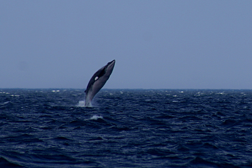 Gray whale encounter in Monterey Bay