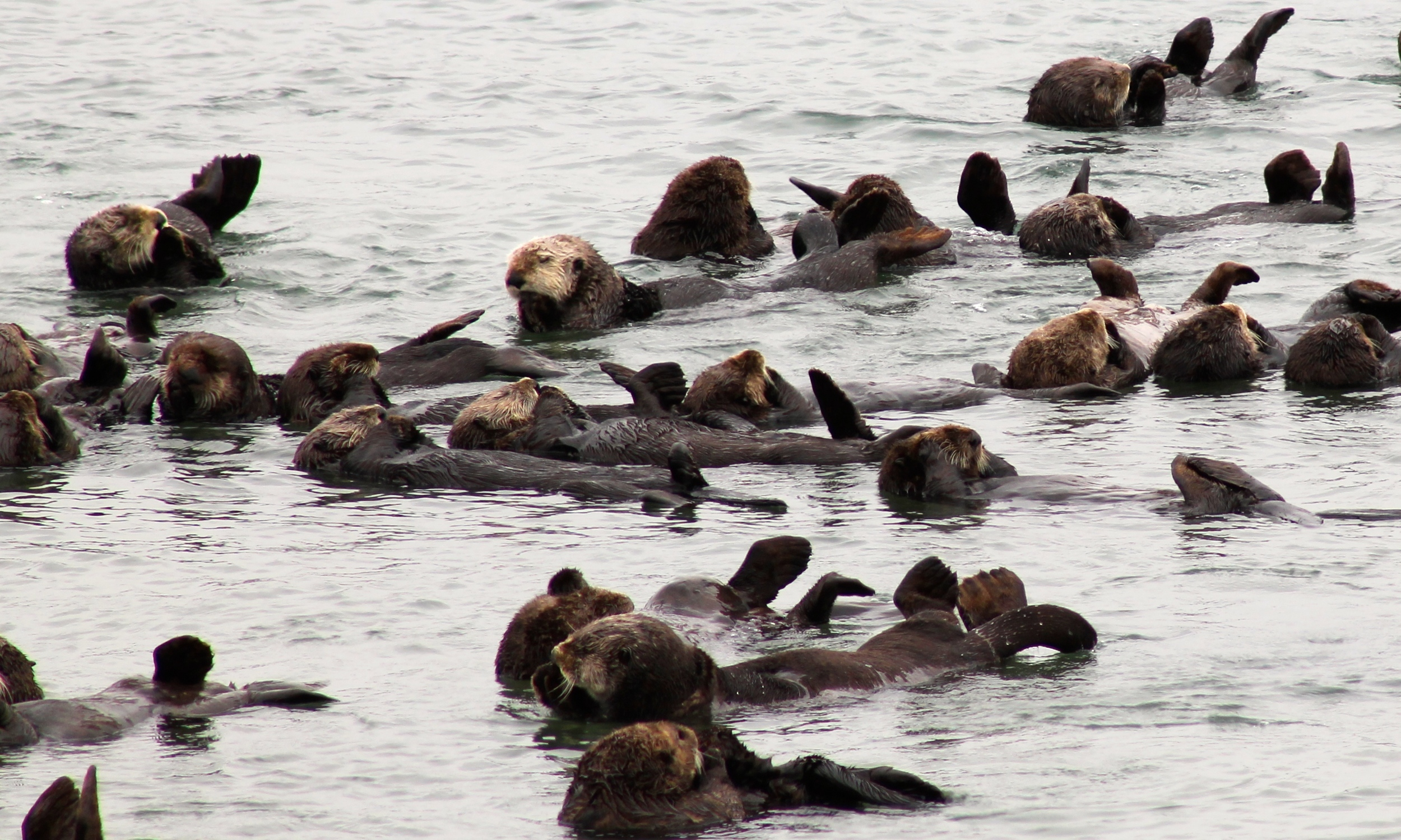 Raft of otters near Elkhorn Slough.