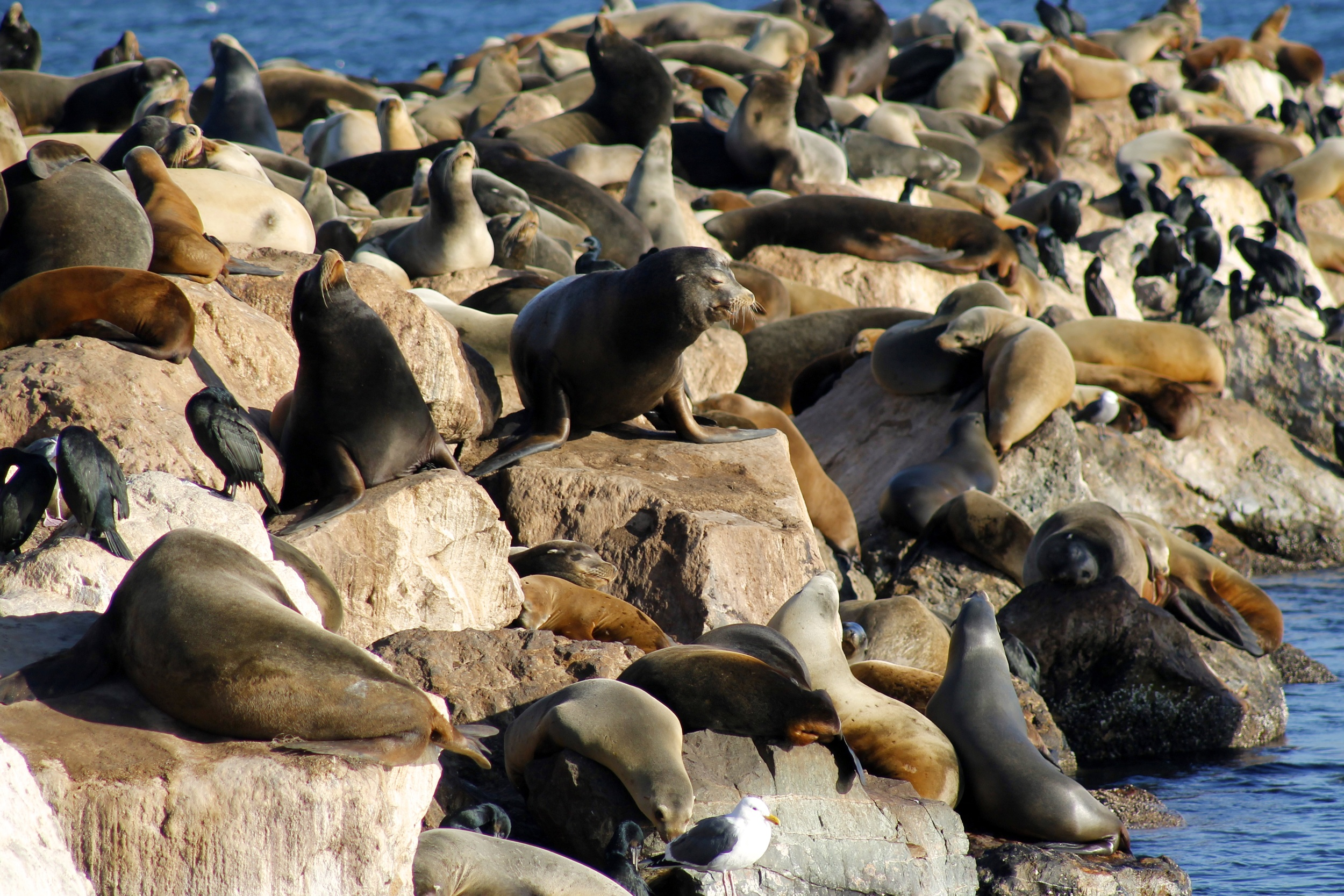 California sea lions gather daily on the Coastguard jetty in Monterey Harbor.