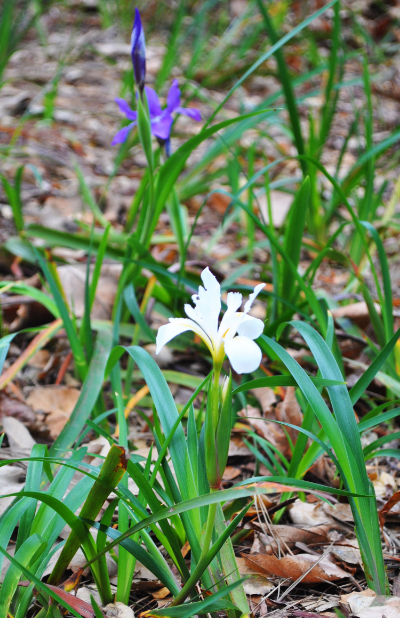 White and purple Douglas iris in the Museum's native plant garden (photo by Annie Holdren)