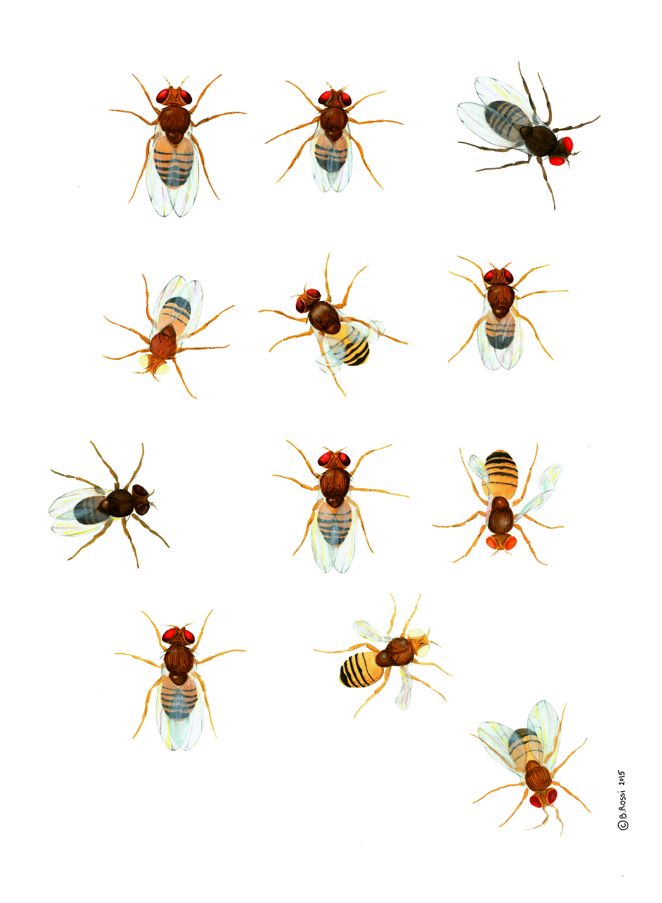 'Drosophila' by Benedicte Rossi